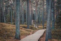Wooden boardwalk in pine forest. Autumn landscape. royalty free stock photo