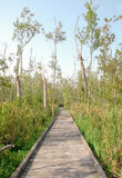 Wooden boardwalk through a swamp Stock Images