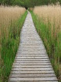 Wooden Boardwalk in Tall Reeds Royalty Free Stock Image