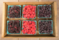 Wooden box of berries on display. Wooden box of fresh Marionberries Red Raspberries and Black Raspberries Royalty Free Stock Photography