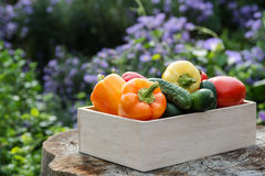 Wooden box with fresh vegetables (tomato, cucumber, bell pepper) Royalty Free Stock Image