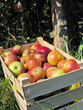 Wooden box full of beautiful, ripe, multicolored fresh apples Royalty Free Stock Photo