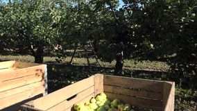 Wooden box full of fresh apple fruit harvest in plantation. 4K. Panevezys, Lithuania - October 03, 2015: wooden box full of fresh juice apple fruit harvest in stock footage