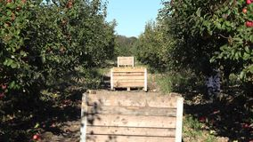Wooden box full of fresh apple after picking in plantation. 4K. Wooden big box full of fresh apple fruit after picking in plantation at harvest time. 4K UHD stock video