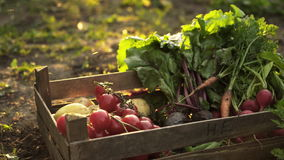 Wooden box with organic harvest of tomatoes, beets, potatoes, carrots, radish on ground on eco farm in sunset light. Summer food harvest, lens flare, close up stock video footage