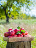 Wooden box of red apples in apple orchard. Royalty Free Stock Image