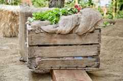 Wooden box of vegetables. Wooden box with green oak leaf lettuce and radishes at the orchard Royalty Free Stock Image