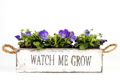 Wooden box with violets Stock Photography