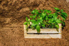 Wooden box with  young seedling  black earth. Wooden box with  young seedling on pile  black earth Royalty Free Stock Photography