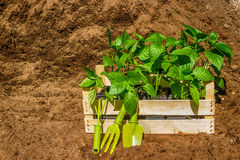 Wooden box with  young seedling  black earth Stock Images