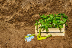 Wooden box with  young seedling  black earth. Wooden box with a young seedling on a pile of topsoil and garden tools Stock Images