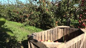 Wooden boxes with apples and workers harvest fruits in farm. 4K stock footage