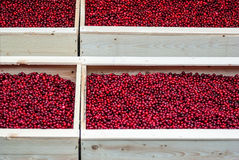 Lingonberry Royalty Free Stock Photo