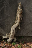 Wooden branch on wall Royalty Free Stock Image