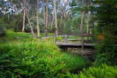 Wooden bridge accross forest stream in Australia. Wooden bridge across forest stream. Bush landscape with fern leaves, eucalyptus trees and an old vintage Stock Photo