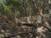 Wooden bridge on footpath Sendero de los Sentidos path od the se. Nses in mystery primary Laurel forest Laurisilva rainforest with old green mossed tree and in Stock Photography