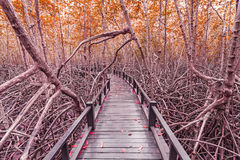 Wooden bridge the forest mangrove at Petchaburi, Thailand Royalty Free Stock Images