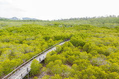 Wooden bridge go to mangrove forest Stock Images