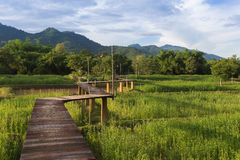 Wooden bridge on green rice field Royalty Free Stock Photos