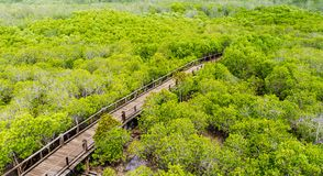 A wooden bridge on mangrove forest Royalty Free Stock Image