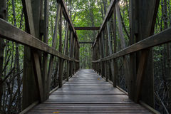 Wooden bridge in the mangrove forest. Old wooden bridge in the green mangrove forest Stock Images