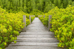 Wooden bridge in mangrove forest. At Rayong, Thailand Royalty Free Stock Images