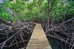 Wooden bridge in the mangrove, Martinique Stock Image