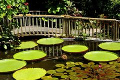Wooden Bridge over a Water Lily Garden Stock Images
