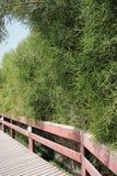 Wooden bridge overgrown with vegetation. Ecological Park of Dubai. Decorative Arab vegetation. Flora of Dubai. Succulents Royalty Free Stock Photo