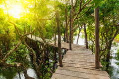 Wooden bridge in rain mangrove forest jungle Stock Photography