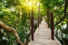 Wooden bridge in rain mangrove forest jungle Stock Photo