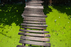 Wooden bridge in a swamp with duckweed. Royalty Free Stock Photography