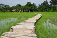 Wooden bridge at paddy rice field, Thailand. Wooden bridge walking trail and cabin with paddy rice field in morning at rural in rainy season, Nakhon Nayok Stock Image