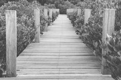Wooden bridge walkway in mangrove forest, black and white photo Royalty Free Stock Image