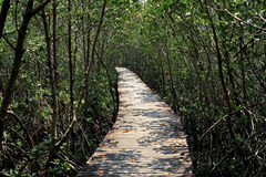 Wooden bridge walkway into mangrove forest Stock Images