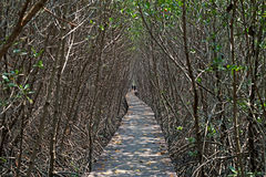 Wooden bridge walkway into mangrove forest Stock Photo