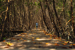 Wooden bridge walkway into mangrove forest Royalty Free Stock Photos