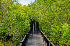 The wooden bridge walkway in mangrove forest at Pranburi Forest Stock Photo