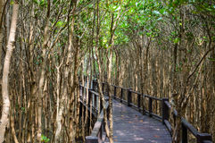 The wooden bridge walkway in mangrove forest at Pranburi Forest National Park, Prachuap Khiri Khan, Thailand Royalty Free Stock Photos