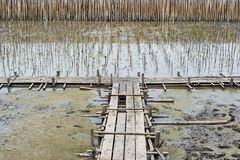 Wooden bridge and young mangroves plantation with mud and bamboo. In Thailand Royalty Free Stock Photo