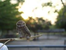 Wooden brown owl