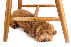 Wooden chair badly damaged by naughty dog chew and bites. Royalty Free Stock Image