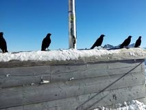 Wooden copy space with Ravens and snow on it at blue sky. In winter Stock Photos