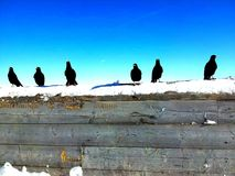 Wooden copy space with Ravens and snow on it at blue sky. In winter Royalty Free Stock Images