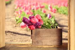 Wooden crate with blooming tulips on sunny   day. Wooden crate with blooming tulips on sunny spring day Stock Photo