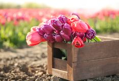 Wooden crate with blossoming tulips in field. On sunny spring day Stock Images