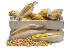 Wooden crate with corn ears Royalty Free Stock Photography