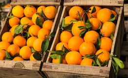 Wooden crate full of oranges Stock Photography