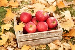 Crate with red apples. Wooden crate with red apples in autumn park royalty free stock images