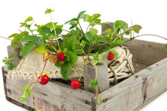 Wooden  crate with wild small strawberry plant Royalty Free Stock Photo